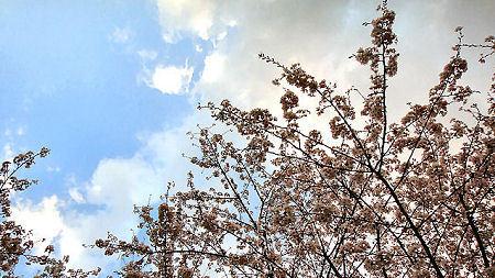 Sakura_3
